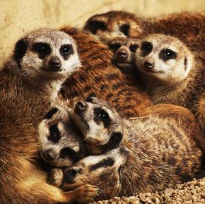 meerkat_family2